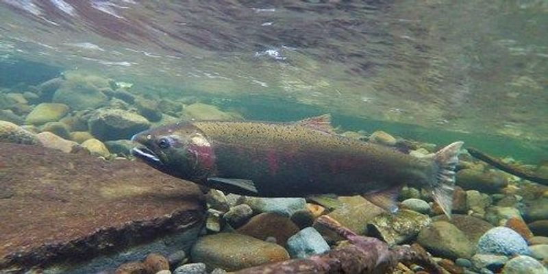 NOAA: Common Pesticides Threaten Endangered Salmon, Other Marine Life