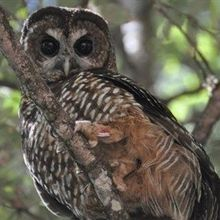 California's Owls Being Exposed to Rat Poison