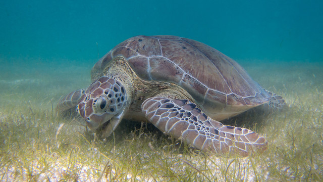 rising temperatures and the elimination of male turtles the