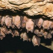Study: UV Light Destroys Bat-Killing Fungus