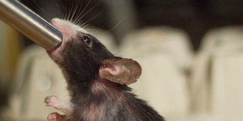 Alcohol Damages Mouse DNA