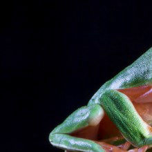 Image of the Day: Frog Leaps Away from Extinction