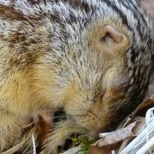 Hibernating Rodents Feel Less Cold