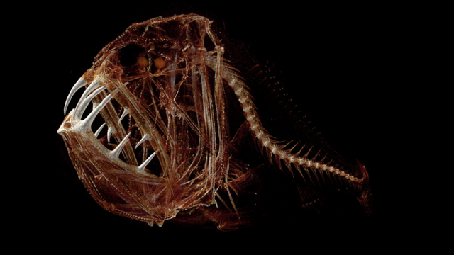 image of the day deep sea fangs the scientist magazine