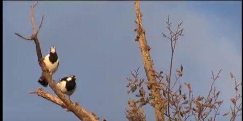 Australian Magpie-Lark Duet