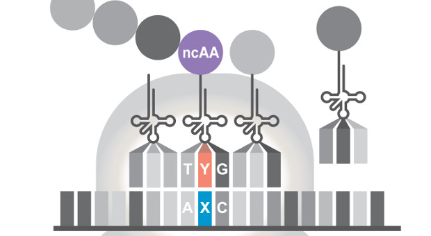 Six-Letter DNA Alphabet Produces Proteins in Cells | The
