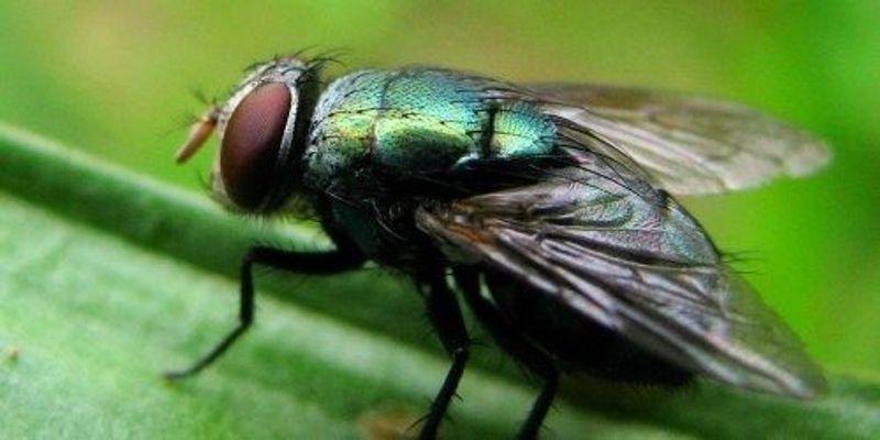 Flies' Feet Can Spread Bacteria