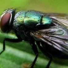 Flies' Feet Can Spread Bacteria