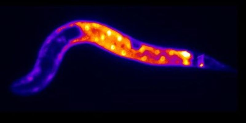 Image of the Day: Starved Worm