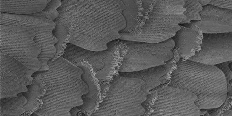 Image of the Day: Butterfly Wing Scents