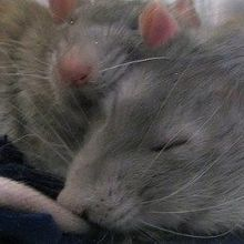 Growth-Promoting Protein Linked to REM Sleep in Rats