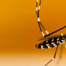 <em>Wolbachia</em>-Laced Mosquitoes to Be Released for Population Control