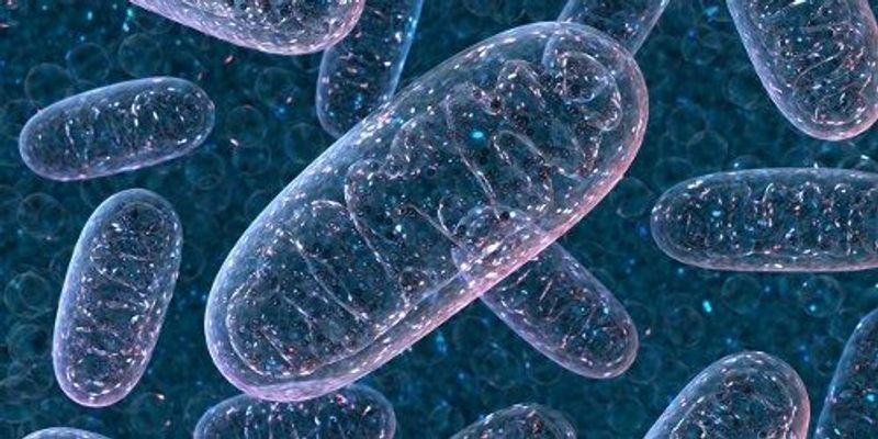 Mitochondrial Networks Explain Why Caloric Restriction Extends Worms' Lives