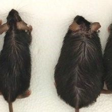 Hormone Loss Prevents Obesity and Diabetes in Mice