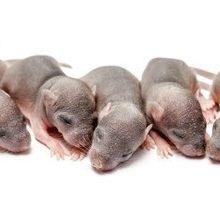 Cesarean Section Results in Heavier Mouse Pups
