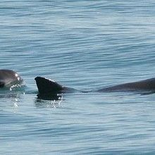 US Navy Dolphins to Capture Vaquitas to Save Them from Extinction