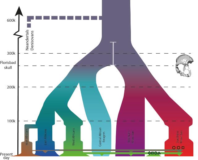 human evolution schematic