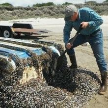 Coastal Critters Make Epic Voyages After 2011 Tsunami