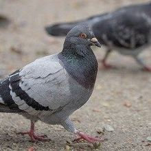 Pigeons Can Switch Tasks More Quickly than Humans