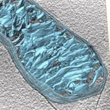 Image of the Day: Mitochondria, Live and in Color