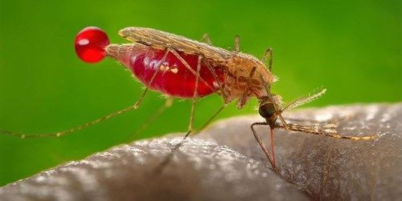 Children With Malaria Smell More Attractive to Mosquitoes