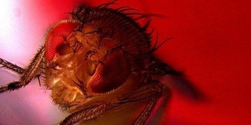 Male Fruit Flies Take Pleasure in Having Sex