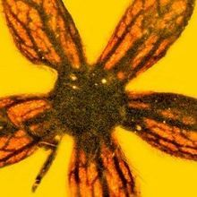 Image of the Day: 100-Million-Year-Old Flower