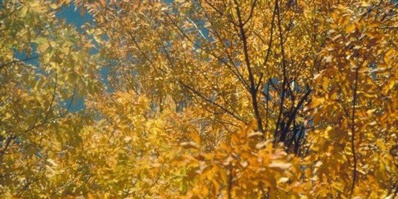 North American Ash on Brink of Extinction