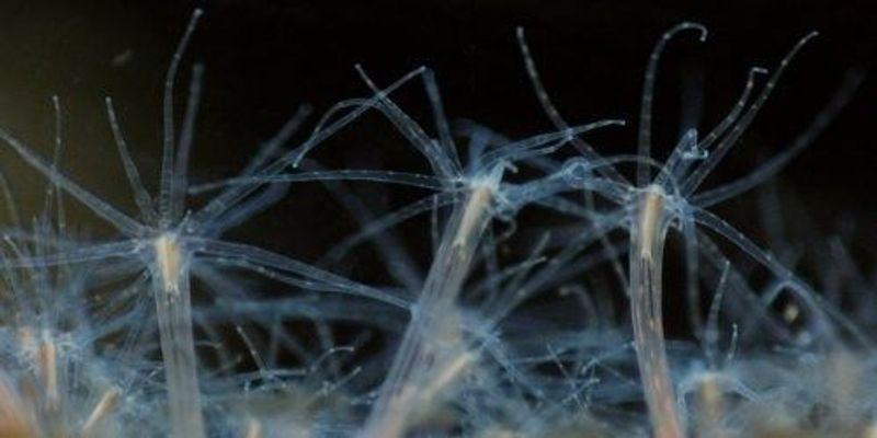 Sea Anemones Illuminate the Evolution of Embryo Development