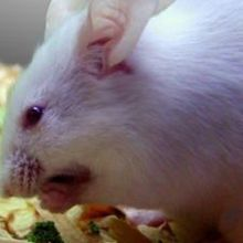 Studies: Ketogenic Mice Live Longer, Healthier Lives