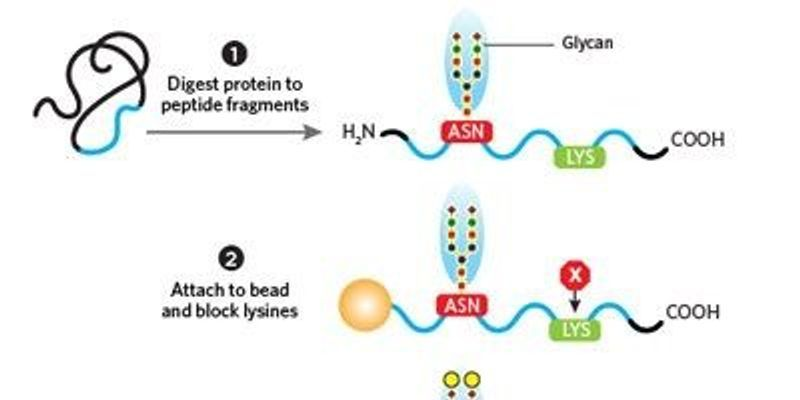Quantitating Glycans for Biomarker Discovery