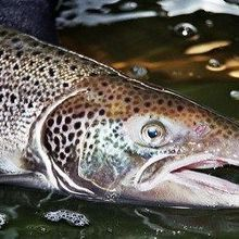 More Than 300,000 Atlantic Salmon Spill into Pacific