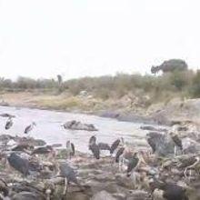 A Grisly Stork Buffet