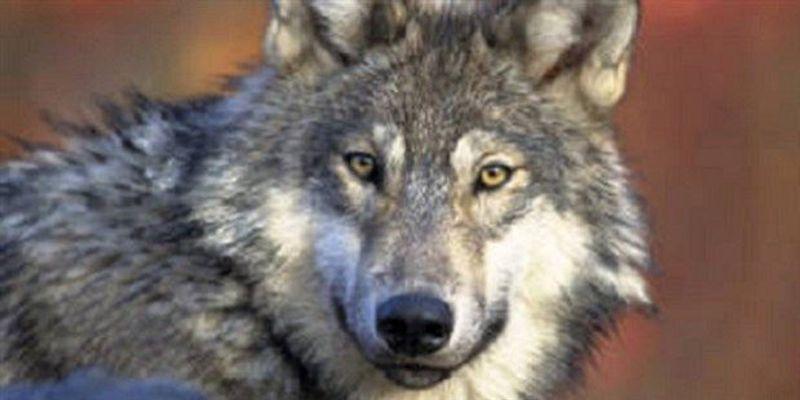 Great Lakes Gray Wolf to Retain Endangered Status