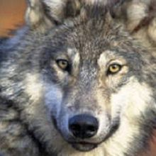 Great Lakes Gray Wolf to Retain Endangered Status