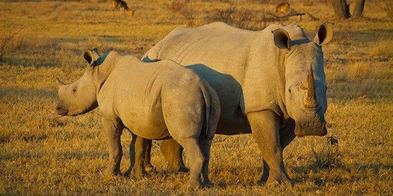 IVF to Revive Endangered White Rhino Population