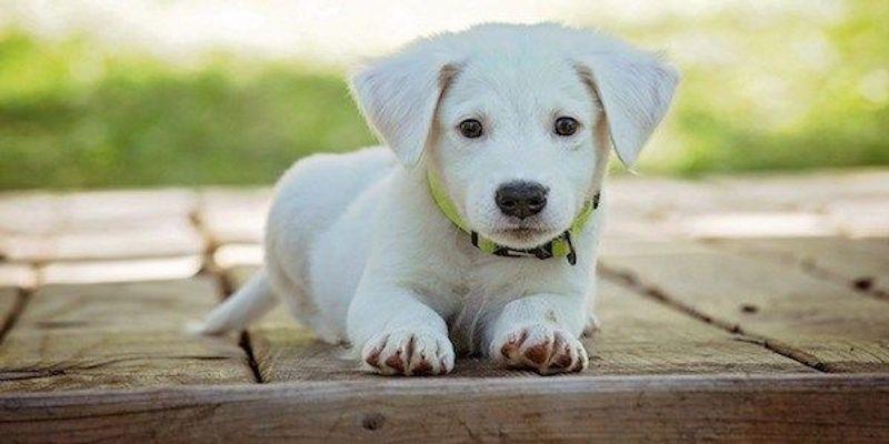 Dogs Have a Single Genetic Origin: Study
