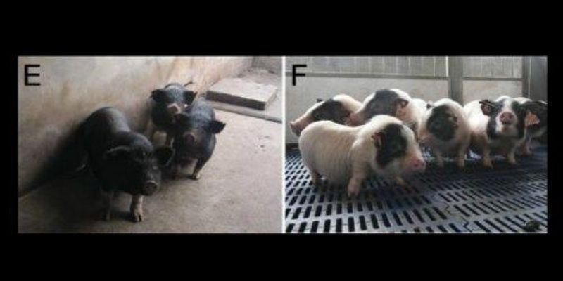 First Genetic Screen of Pigs Using ENU