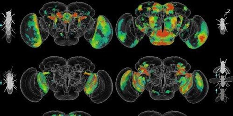 Behavior Circuits Mapped in Whole Fruit Fly Brain