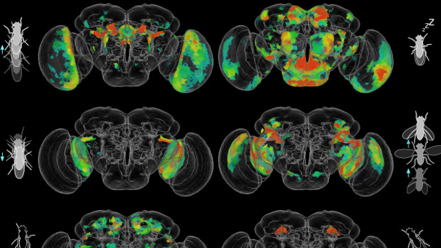 Behavior Circuits Mapped in Whole Fruit Fly Brain | The Scientist