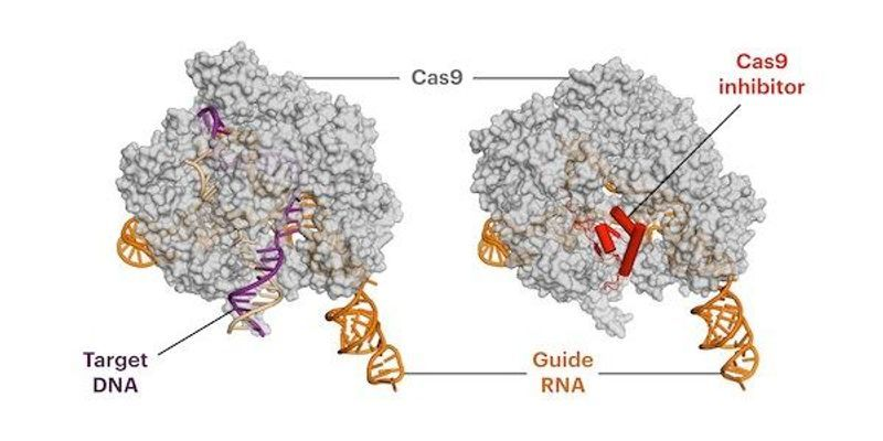 Anti-CRISPR Protein Reduces Off-Target Effects