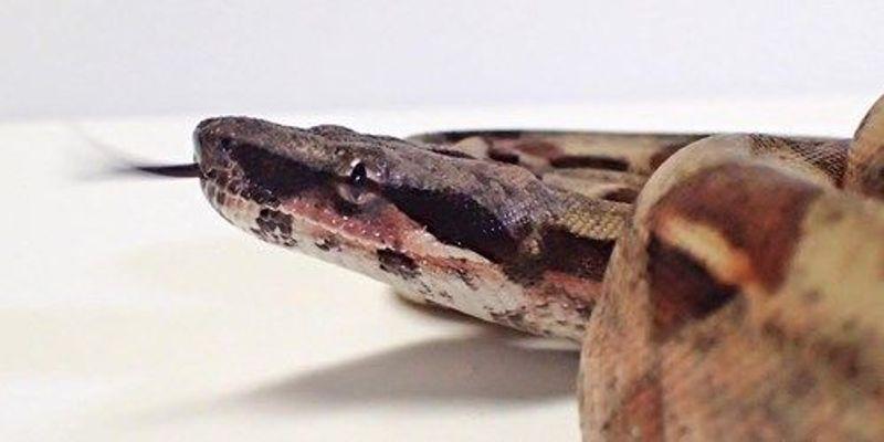 Snake Sex Determination Dogma Overturned