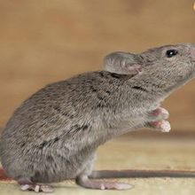 Olfaction Determines Weight in Mice