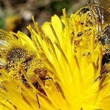 Field Studies Confirm Neonicotinoids' Harm to Bees