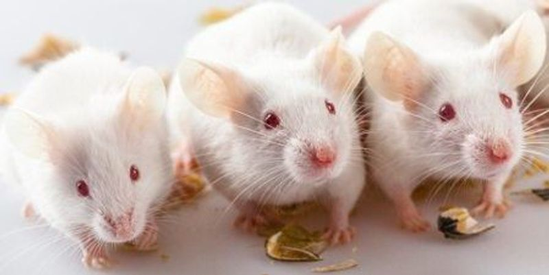 Molecular Trigger for Organ Rejection in Mice Identified