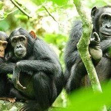 Human Presence Influences Chimps' Hunting Habits