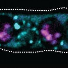 Selfish Yeast Genes Encode Both Toxin and Antidote