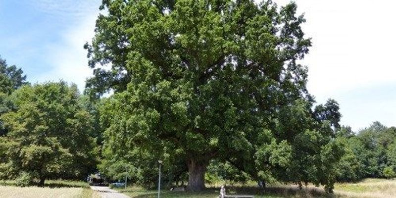 234-Year-Old Tree Has Impressively Stable Genome