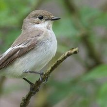 Flycatchers' Song Preference Linked to Genes