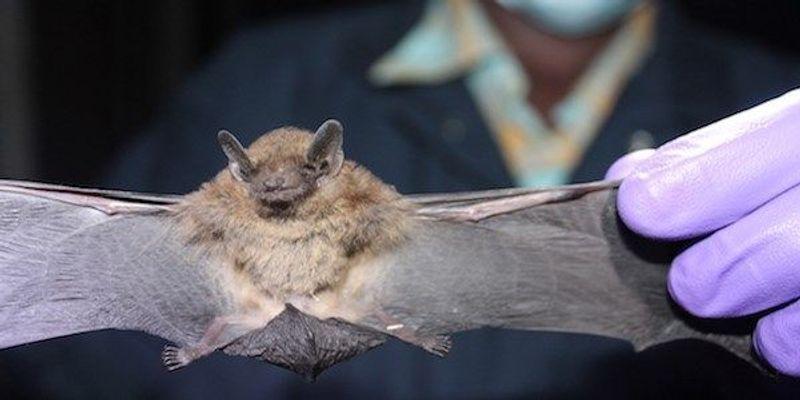 Bats a Major Global Reservoir of Coronaviruses